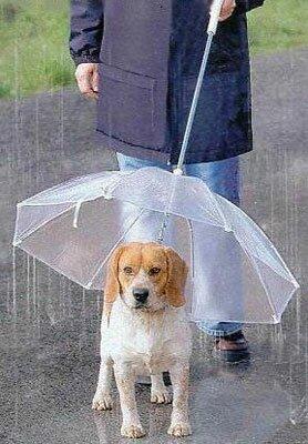Как гулять с собакой под дождем
