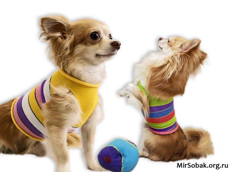 Одежда для собак своими руками из носка